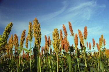 Desarrollan Harinas Libre de Gluten a base de sorgo colorado